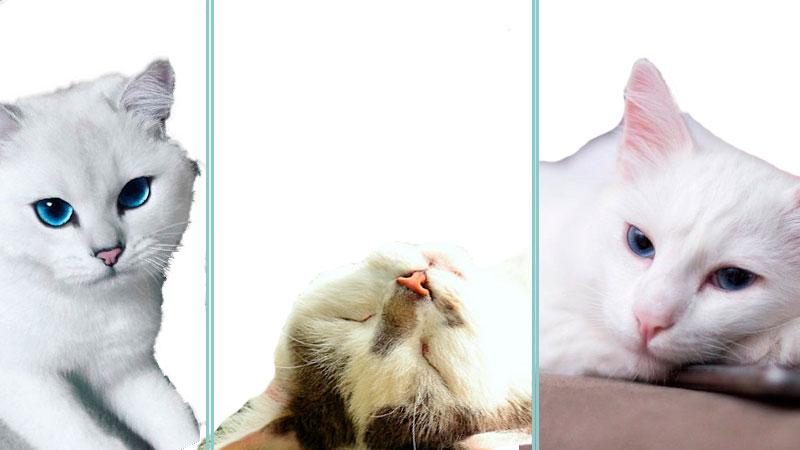 Nombres para Gatos Blancos