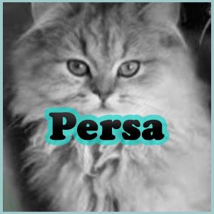 Nombres para gatos persa Inicio