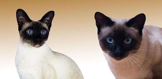 Nombres de gatos siameses