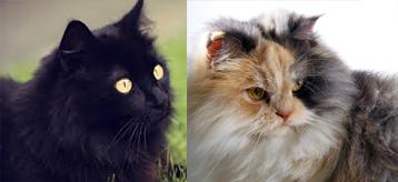 Cuidados para los Gatos Angora
