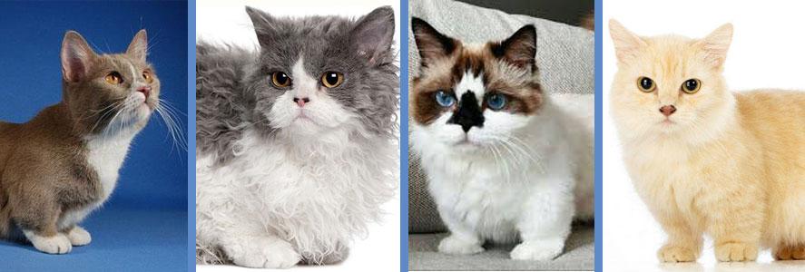 Todo sobre los Gatos Enanos