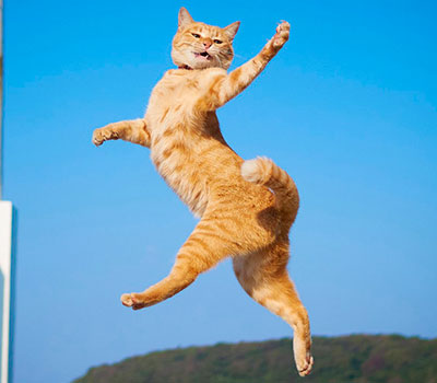 Fotos de gatos japoneses