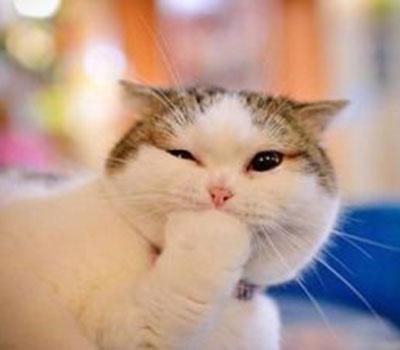foto gato japones 16